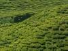 Uitzicht op Thee plantage vanuit Teashop